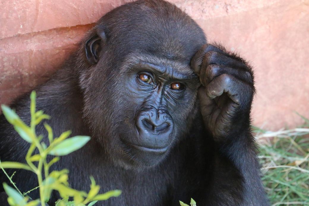 gorilla-1031235_1920